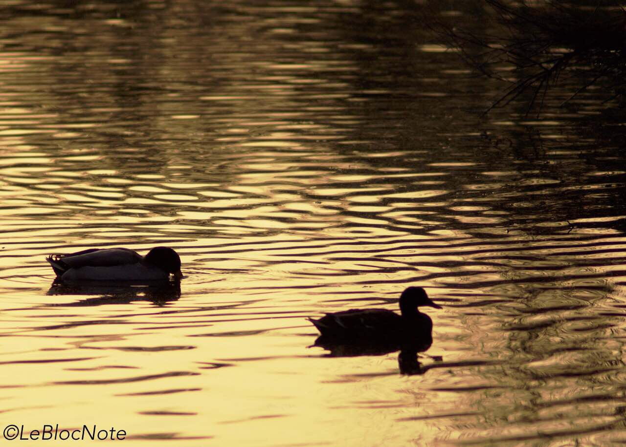 Canards en contre-jour
