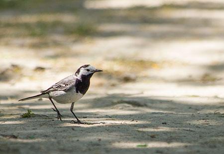 Oiseau marchant sur le sol