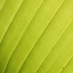 Grande feuille verte à contrejour