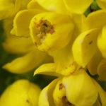Petites fleurs jaunes en macrophotographie
