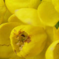 Fleurs jaunes en macrophotographie