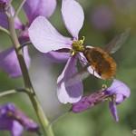 Insecte en plein vol en train de butiner une fleur